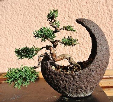Bonsai, Juniper, Moon Bowl, Nature, Japanese, Harmony