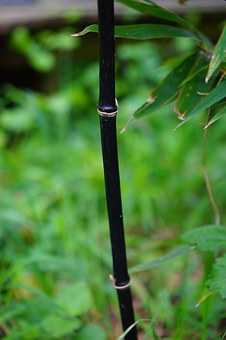 Black Cane Bamboo, Stalk, Bamboo, Knot