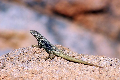 Mountain, Chile, Valley, Cochiguaz, Lizard
