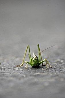 Grasshopper, Desert Locust, Insects, Nature, Macro