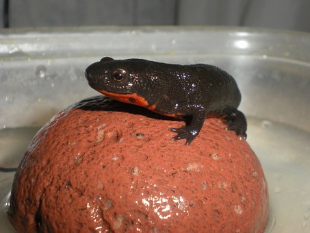 Newt, Fire-bellied Newt, Amphibian, Protected, Animal