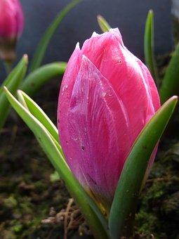 Flower, Tulip, Pink, Pulchella Violacea