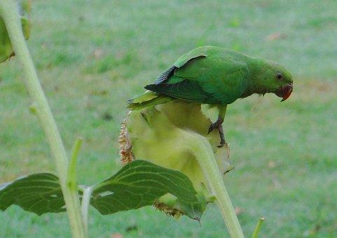 Rose-ringed Parakeet, Psittacula Krameri