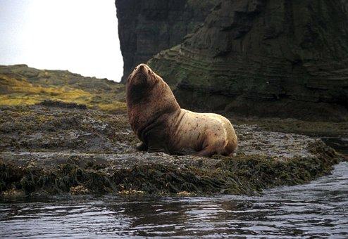 Agattu Island, Alaska, Stellar, Sea Lion, Animal