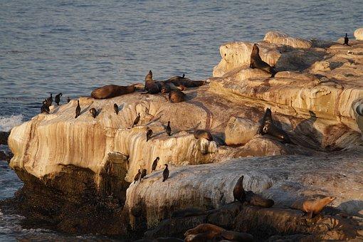 California, Sea, Lion, Seals, Seal, Sea Lions, Harbor