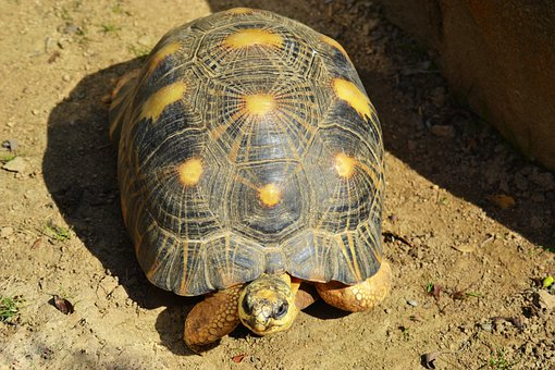 Yellow-footed Tortoise, South American