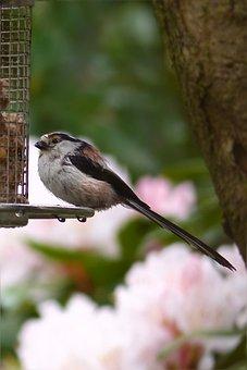 Bird, Long Tailed Tit, Young, Spring, Garden