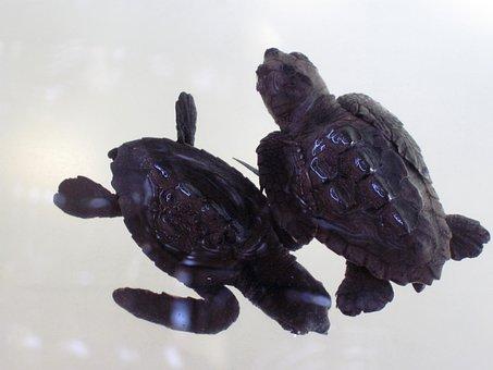 Animal, Baby, Reptile, Shell, Tortoise, Turtle, Water
