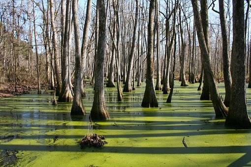 Mississippi, Cypress Swamp, Water, Trees, Green, Winter