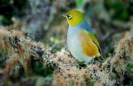 Wax Eye, Bird, Fly, Wings, Feather, Wildlife, Beak