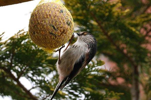 Long Tailed Tit, Bird, Tail, Wildlife, Garden