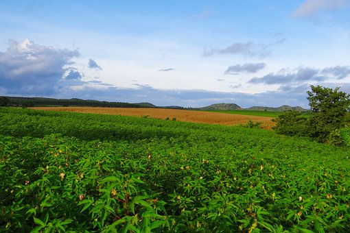 Cultivation, Cotton, Maize, Agriculture, Farmin, Field
