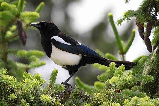 Elster, Magpies, Birds, Animals, Game Birds, Bird