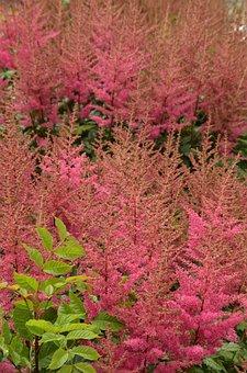 Flower, Plant, Flora, Astilbe, Pink