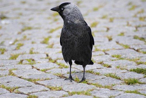 Crow, Bird, Setts