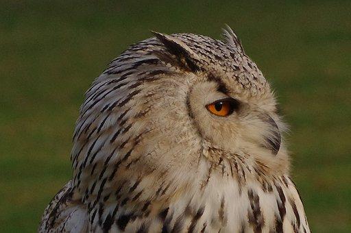 Bird, Owl, Eagle Owl, Eurasian Eagle Siberian Owl