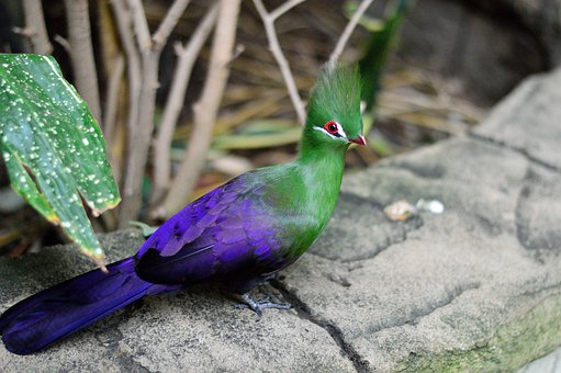 Exotic, Green Crested Turaco, Bird, Fly, Wings, Feather
