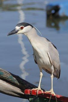 Heron, Bird, Night Heron, Black-crowned, Fauna, Avian