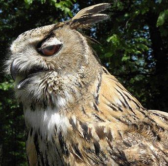 Sibierischer Ahamed, Owl, Bird, Bird Of Prey, Eagle Owl