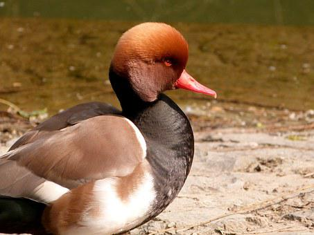 Duck, Bird, Red-crested, Pochard Brown, Nature