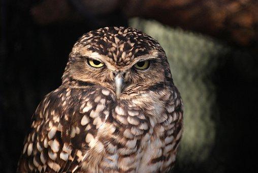 Owl, Owlet, Nocturnal, Bird, Wildlife, Fauna, Predator
