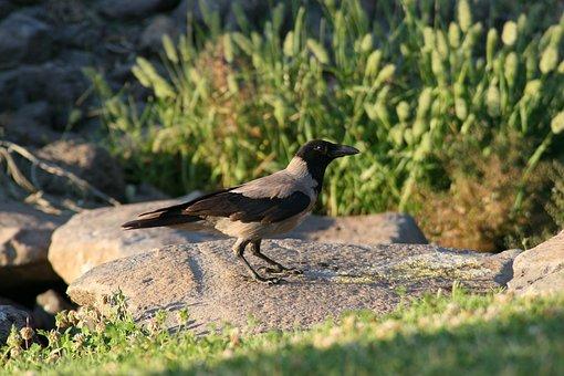 Bird, Crow, Raven, Green, Nature, Black, Rock, Outdoors