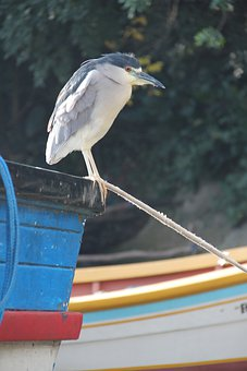 Heron, Bird, Night Heron, Black-crowned, Perched, Wader