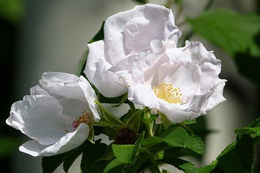 Wild Roses, Flower, Floral, Blossom, Petal, Bloom