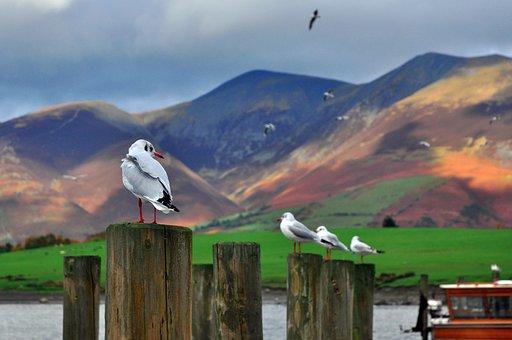 Gulls, England, Cumbria, Derwentwater, Lake, Mountains