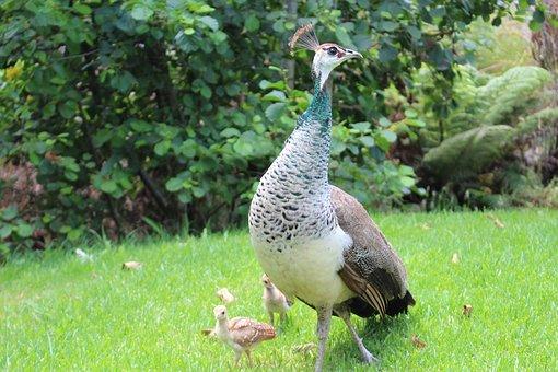Peacock, Chicks, Bird, Peafowl, Beak, Wildlife, Feather