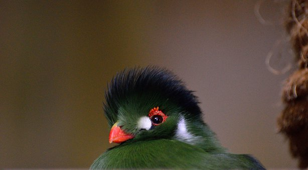 Green Crested Turaco, Exotic, Bird, Fly, Wings, Feather