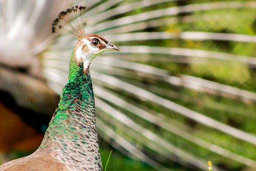 Female, Peacock, Plumage, Bird, Color