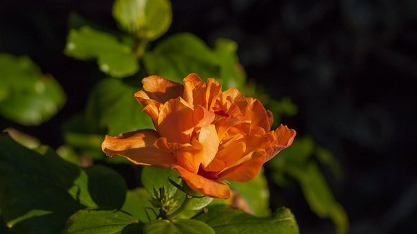 Hibiscus, Flowers, Orange, Petals, Blossoms, Floral
