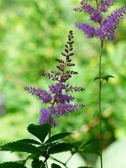 Prachtspiere, Astilbe, Plant, Purple, Flower