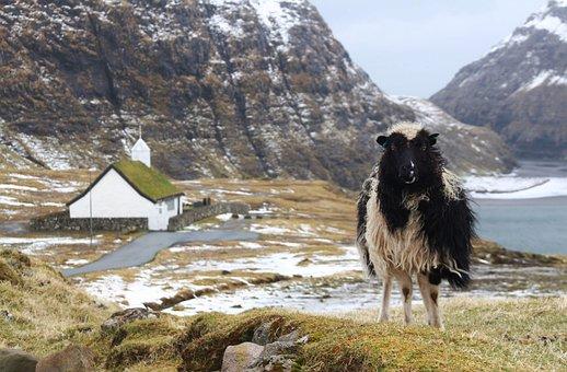 Foroyar, Faroe Islands, Sheep