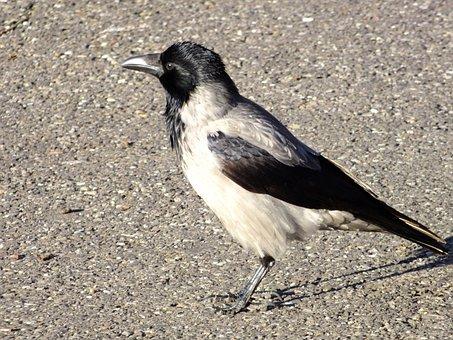 Bird, Game Birds, Magpie
