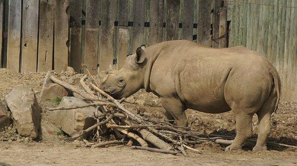 Rhino, Horns, Rhinoceros, Mammal, Wildlife, Africa
