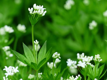 Woodruff, Blossom, Bloom, White, Leaf, Stalk, Green