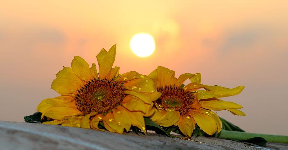 Sunflower, East, Sun, Drops, Morning
