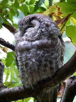 Tengmalm's Owl, Owl, Aegolius Funereus, Aegolius, Bird