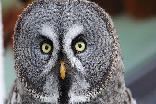 Bart Owl, Strix Nebulosa, Owl, Night Active, Bird