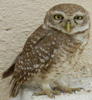 Owl, Owlet, Spotted, Bird Of Prey, Yellow Eyes, Raptor