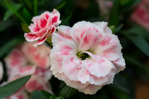 Flower, Flowers, White, Pink, Red, Plant, Nature, Green