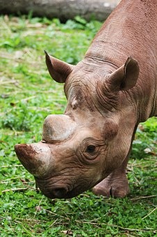 Rhino, Rhinoceros, Animal, Wild, Wildlife, Mammal