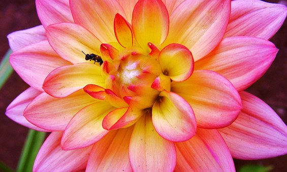 Flower, Insect, Dahlia, Nature, Summer, Plant, Spring