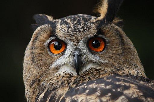 Waldkautz, Owl, Eagle Owl, Nocturnal, Bird, Falconry