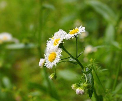 Flowers, White, Yellow, Weed, Green, Nogiku No Haka