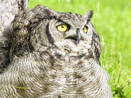 Owl, Bird, Nocturnal, Eyes, Fly, Wings, Feather