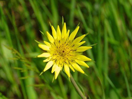 Yellow Salsify Flower, Yellow Flower, Wild Flower