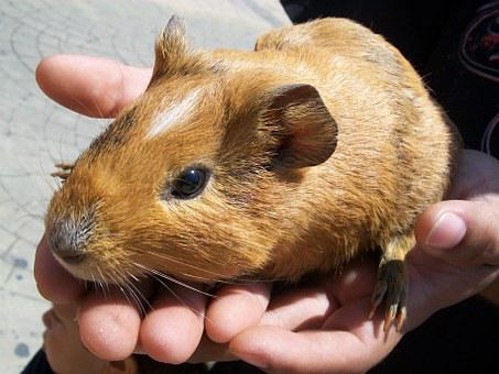 Acure, Rodent, Mammal, Guinea Pig, Bunny, Indian